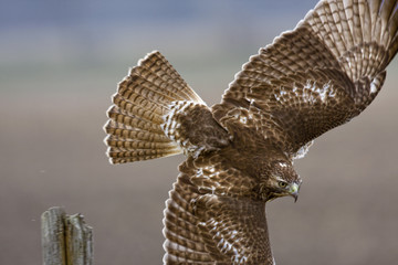 Red-tailed Hawk flies in close up