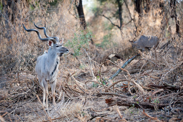 Male Kudu at Kruger National park