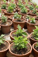 花の苗の栽培