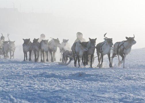 Polar inhabitants on the deer sleds early in morining