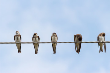 House martins on a wire