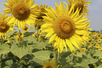 Wall Mural - sunflowers at the field in summer on blue sky