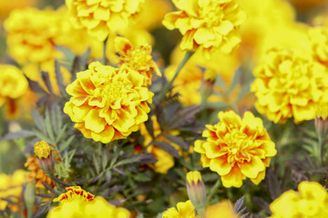 close up french marigold flower on field of flowers