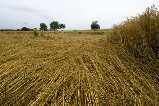 Crop damage in the cornfield after the storm