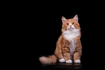 Siberian cat on black background. Cat sitting.