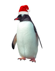 Isolated gentoo penguin with Santa hat