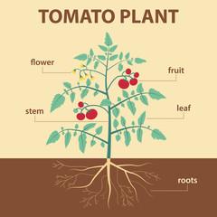 illustration scheme tomato labels for education of biology -  flower, leaf, stem, roots, fruit