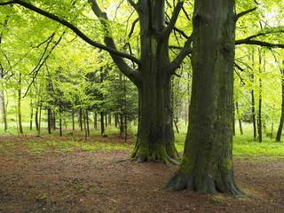 Stattliche Buchenbäume als Schattenspender