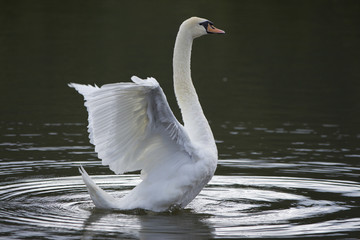 Poster Cygne Beautiful wild bird swan