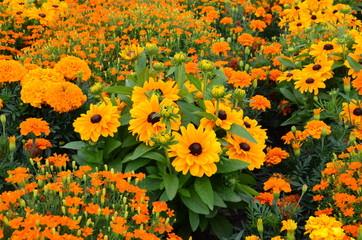 Sommerliches Blumenmeer orange - Studentenblumen und gelber Sonnenhut