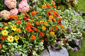 Sommerliches Blumenmeer aus Zinnien und Hortensien