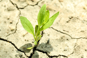Little  sprout grows through dry ground