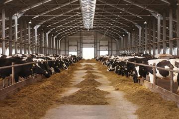 cow farm agriculture