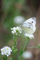 Kohlweißling auf weißer Blüte