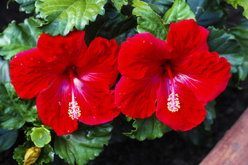 Two Red hibiscus flower, Chinese hibiscus, China rose, Algarve, Portugal