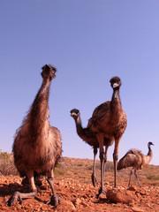 emu, australien