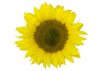 Bright yellow sunflowers on a white background clipart