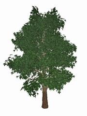 Horse-chestnut or conker tree, aesculus hippocastanum - 3D