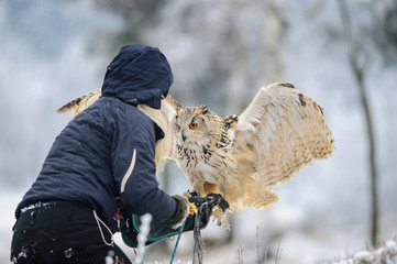 Fototapete - Falconer wit landing Eurasian Eagle Owl to her hand with gauntlet.