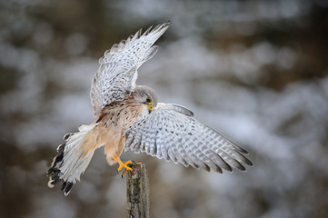 Fototapete - Landing common kestrel to wooden post in forest