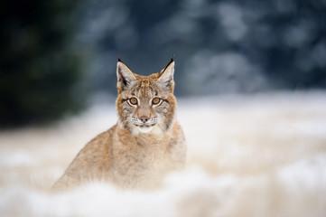 Wall Mural - Eurasian lynx cub on sitting snowy ground