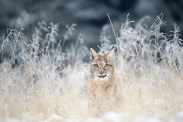 Wall Mural - Eurasian lynx cub hidden in high yellow grass with snow