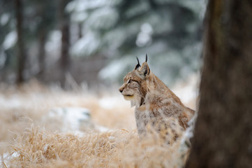 Wall Mural - Eurasian lynx sitting on ground in winter time on yellow grass