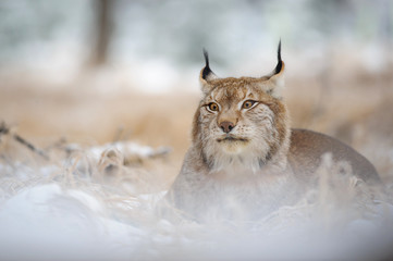 Wall Mural - Eurasian lynx lying on ground in winter time