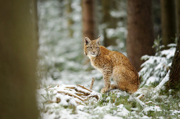 Wall Mural - Eurasian lynx cub standing in winter colorful forest with snow