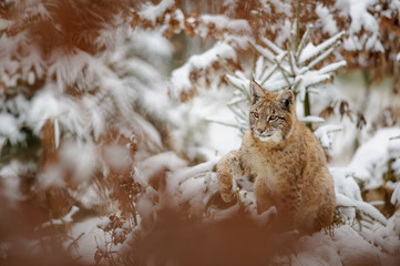 Wall Mural - Eurasian lynx cub shaking down snow from his paw in winter forest