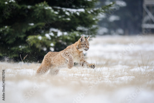 Wall mural Running eurasian lynx cub on snowy ground in cold winter