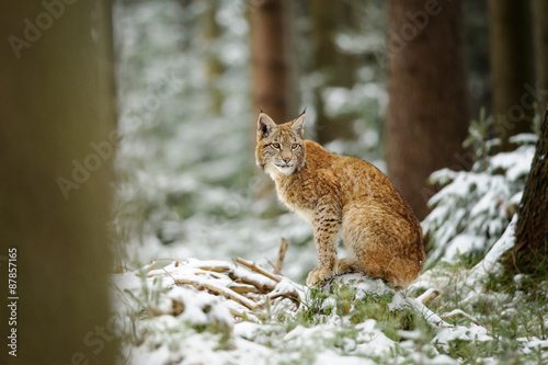 Wall mural Eurasian lynx cub standing in winter colorful forest with snow