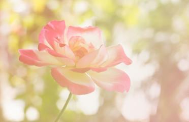 pink rose blur photo