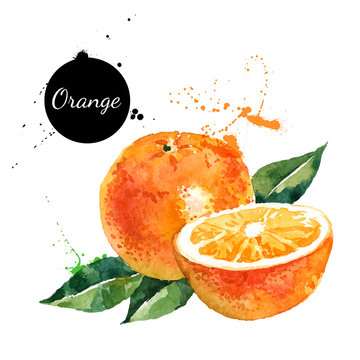 Hand drawn watercolor painting orange on white background