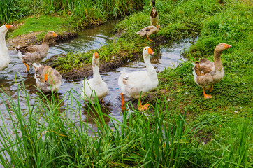 many geese standing near a water
