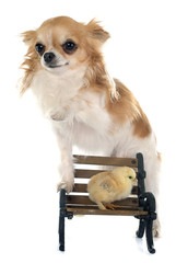 chick and chihuahua on bench
