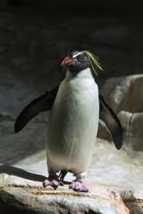 Northern rockhopper penguin (Eudyptes moseleyi).