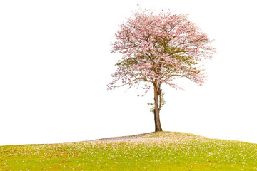 The beautiful pink trumpet tree standing alone in green field co