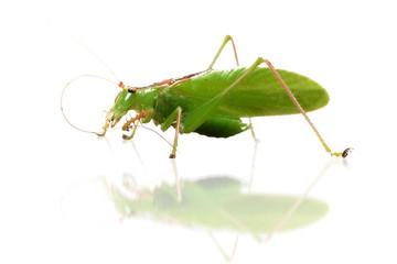 Grasshopper isolated on white background