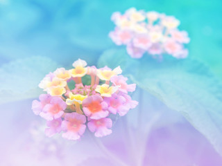 Abstract Blurry Lantana (Phakakrong flowers in Thai) Flower colorful background. Beautiful flowers made with colorful filters.