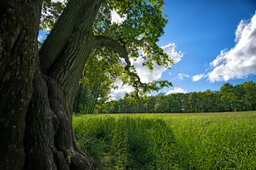 Meadow with oak tree