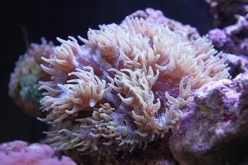 catalaphylia