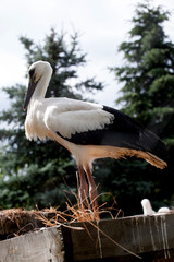 White stork baby birds in a nest,  Ciconia ciconia