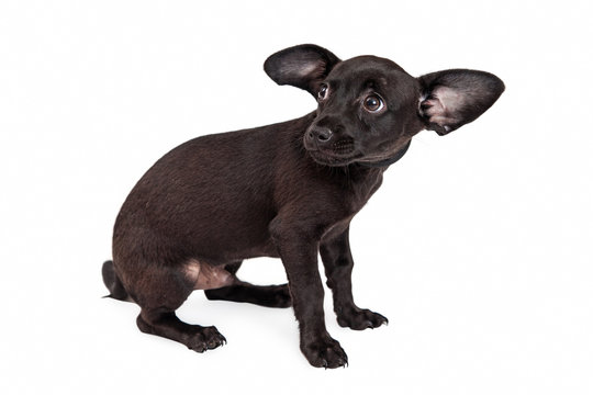 Scared Little Black Chihuahua Puppy
