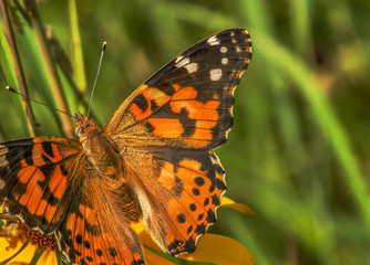 Orange Butterfly with beautiful patterns