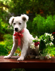 fluffy white puppy with  vase of jasmin and carnation