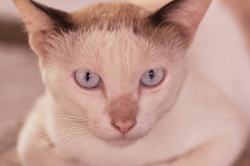 Eyes of siamese cat