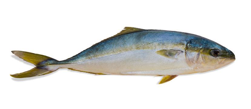 Whole round fish yellowtail