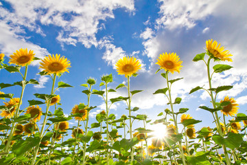Wall Mural - Big sunflowers - in background blue sky with clouds