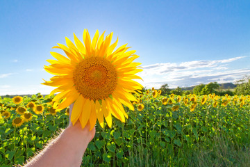 Wall Mural - Sunflower in the hand